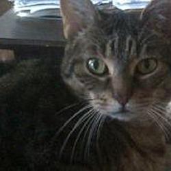 Photo 1 - Domestic Shorthair Cat for adoption in Kensington, Maryland - Savannah