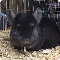 Adopt A Pet :: 4 mo med ebony male chinchilla - Hammond, IN