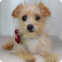Adopt A Pet :: Tilly - Dublin, CA