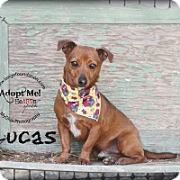 Adopt A Pet :: Lucas - Canyon Country, CA