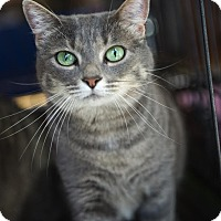 Domestic Shorthair Cat for adoption in Mooresville, North Carolina - A..  Victoria