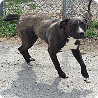 Adopt A Pet :: Donkey Kong - Lewisburg, TN