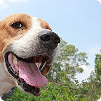 Foxhound/Foxhound Mix Dog for adoption in Pittsboro, North Carolina - Eddie