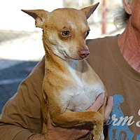 Chihuahua Dog for adoption in Corona, California - Moliere, Little Dog Needs YOU!