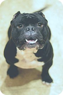 American Pit Bull Terrier/English Bulldog Mix Dog for adoption in tucson, Arizona - Matilda