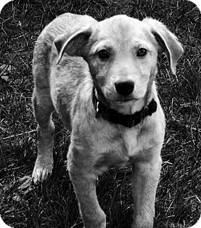 Golden Retriever Mix Puppy for adoption in Columbia Heights, Minnesota - Cobra