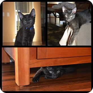 Domestic Shorthair Kitten for adoption in Madison, Alabama - Alphonso