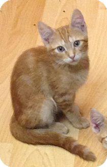 Domestic Shorthair Kitten for adoption in Staten Island, New York - Nash
