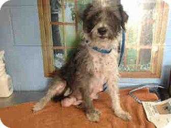 Terrier (Unknown Type, Small) Mix Dog for adoption in San Bernardino, California - URGENT ON 10/18 San Bernardino