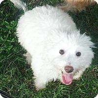 Adopt A Pet :: Snoopy - Venice, FL