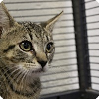 Domestic Shorthair Kitten for adoption in Sarasota, Florida - Louie