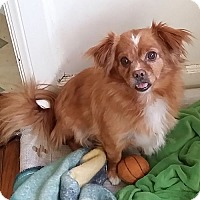 Tibetan Spaniel Dog for adoption in SO CALIF, California - TEDDY