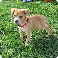 Adopt A Pet :: Sailor - New Oxford, PA