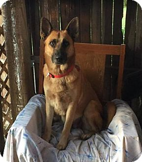 German Shepherd Dog Dog for adoption in Littleton, Colorado - Starr