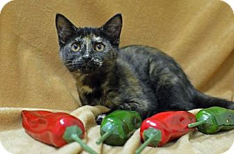 Domestic Shorthair Cat for adoption in Morgantown, West Virginia - Jalapeno