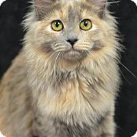 Domestic Shorthair Kitten for adoption in Atlanta, Georgia - Willowmena 161931