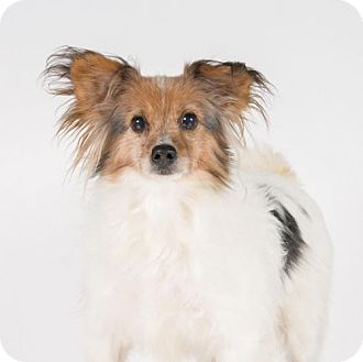 Papillon Dog for adoption in St. Louis Park, Minnesota - Josefina
