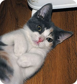 Domestic Shorthair Kitten for adoption in Middleton, Wisconsin - Bianca