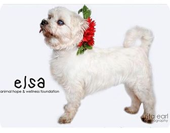 Maltese Mix Dog for adoption in Sherman Oaks, California - Elsa