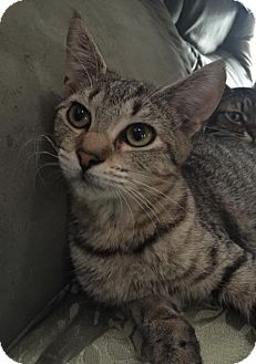 Domestic Shorthair Cat for adoption in Melbourne, Florida - Tabitha