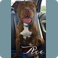 Adopt A Pet :: Ace - Des Moines, IA
