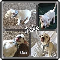 Adopt A Pet :: Jake meet me 2/10 - Manchester, CT