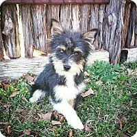 Adopt A Pet :: Boomer - Fredericksburg, TX