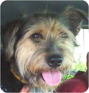 Schnauzer (Standard) Mix Dog for adoption in Houston, Texas - GAVIN