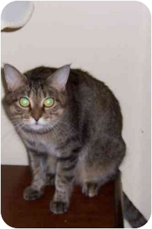 Domestic Shorthair Cat for adoption in Simms, Texas - Walie