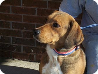 Beagle/Australian Shepherd Mix Dog for adoption in Germantown, Maryland - Calvin