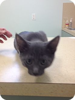 Russian Blue Kitten for adoption in Ft. Lauderdale, Florida - Marissa