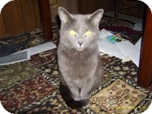 Russian Blue Cat for adoption in Sherman, Connecticut - Platinum