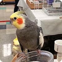 Adopt A Pet :: Rikki - Shawnee Mission, KS
