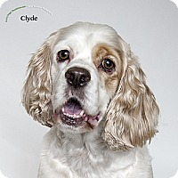 Adopt A Pet :: Clyde - Rancho Mirage, CA