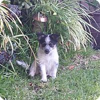 Adopt A Pet :: Shelby - San Dimas, CA