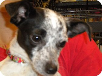 Chihuahua/Terrier (Unknown Type, Medium) Mix Dog for adoption in Fresno, California - Kara