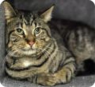 Domestic Shorthair Cat for adoption in Chicago, Illinois - Hurley