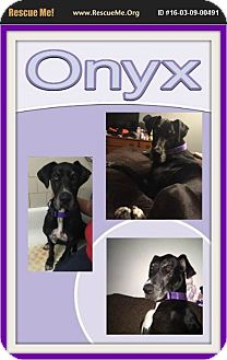 Great Dane Dog for adoption in bullard, Texas - Onyx
