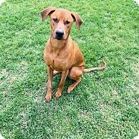 Adopt A Pet :: Duke - Englewood, CO