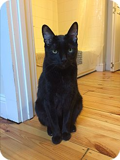 Domestic Shorthair Cat for adoption in Baltimore, Maryland - Siddhartha (COURTESY POST)