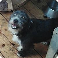 Schnauzer (Standard)/Corgi Mix Puppy for adoption in springtown, Texas - Cinder