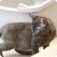 Domestic Shorthair Kitten for adoption in Chula Vista, California - Jacob