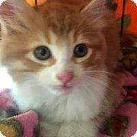 Domestic Longhair Kitten for adoption in Rochester Hills, Michigan - Gabriel