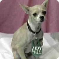 Chihuahua Dog for adoption in Seattle, Washington - Jolie Rio
