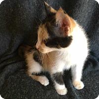 Domestic Longhair Kitten for adoption in Mackinaw, Illinois - Molly