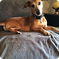 Whippet/Dachshund Mix Dog for adoption in Graceville, Florida - Wilson #2