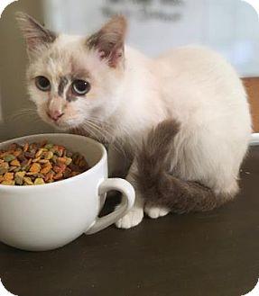 Siamese Kitten for adoption in Wichita, Kansas - Caliope