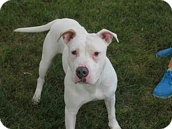 Pit Bull Terrier Dog for adoption in Decatur, Illinois - BINGO