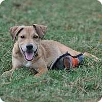 Labrador Retriever Mix Puppy for adoption in Westerly, Rhode Island - Boris