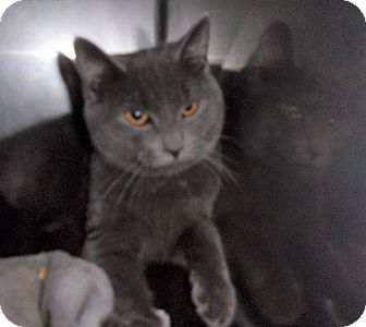 Domestic Shorthair Cat for adoption in Springfield, Tennessee - Frenchy